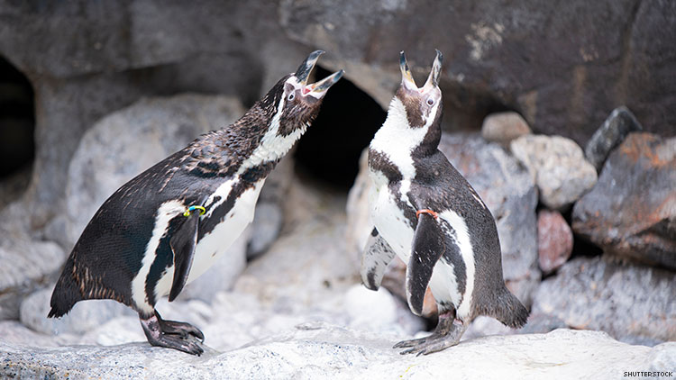 I'm Cry: These Gay Penguins Failed to Fertilize Their Adopted Egg