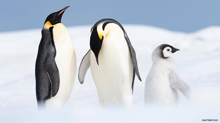 Gay Penguins Are Proud Parents - Again