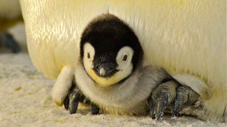 These Lesbian Penguins Are Proud (and Adorable) Parents