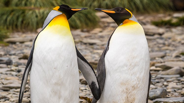 Gay Penguins Steal Entire Nest From Lesbian Penguins to Become Dads