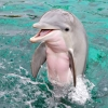 Swim with the dazzling dolphins in Dolphin Quest Oahu at The Kahala Hotel & Resort.