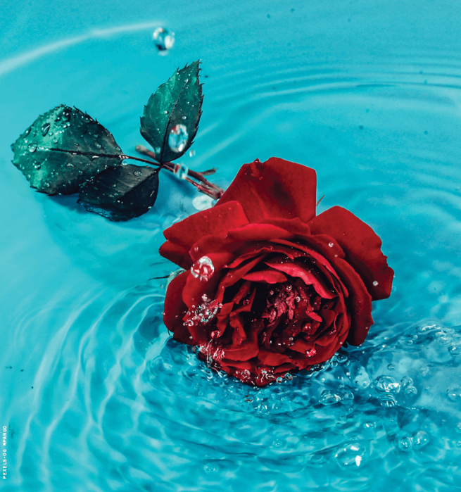 a rose in water