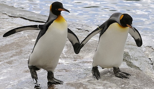 Gay Penguins to Be Separated, Forced to Mate With Girl Penguins