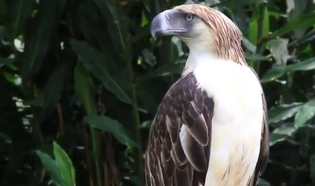 30 Postcards: Saving The Philippine Eagle In Davao City
