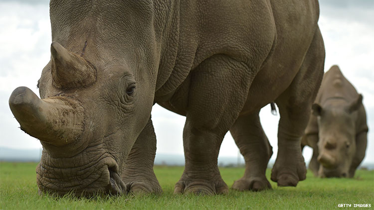 The Last Two White Rhinos Could Save Their Subspecies — Without Males